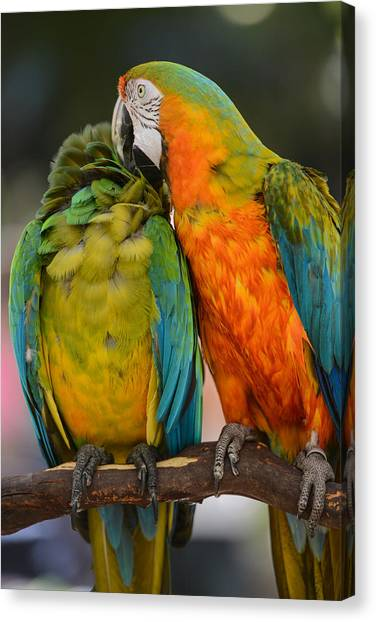 Two Colorful Macaws Canvas Print