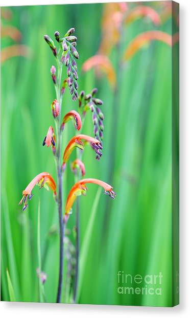 Cape Lily Canvas Print - Two-colour Cobra Lily by Neil Overy