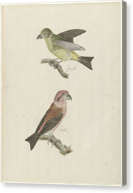 Crossbills Canvas Print - Two Crossbills, Possibly Christiaan Sepp by Quint Lox