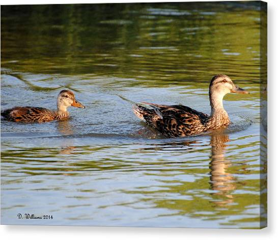 Two Ducks Swimming Canvas Print