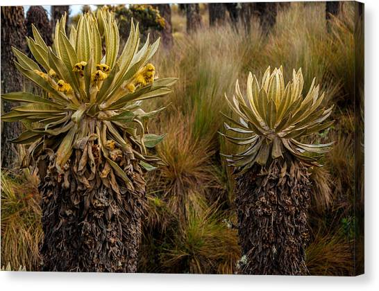 Nevado Del Ruiz Canvas Print - Two Espeletia Plants by Jess Kraft