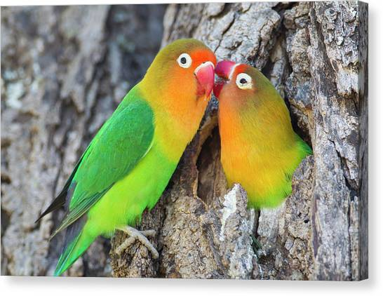 Lovebirds Canvas Print - Two Fischer's Lovebirds (agapornis by James Heupel
