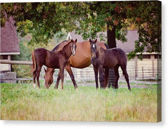 University Of Massachusetts Amherst Umass Amherst Canvas Print - Two Foals by Donna Doherty