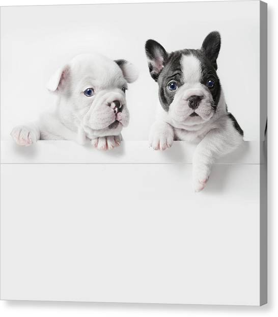 Two French Bulldog Puppies Peer Over A Canvas Print