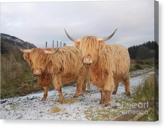 Two Highland Cows Canvas Print