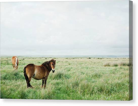 Two Horses In Field Canvas Print by Suzanne Marshall