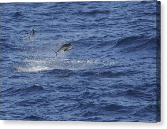 Two Jumping Yellowfin Tuna Canvas Print