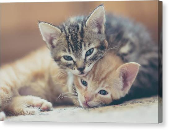 Two Kittens Looking At The Camera Canvas Print by Harpazo hope