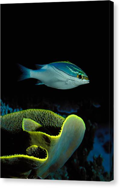 Indo Canvas Print - Two-lined Monocle Bream Scolopsis by Panoramic Images