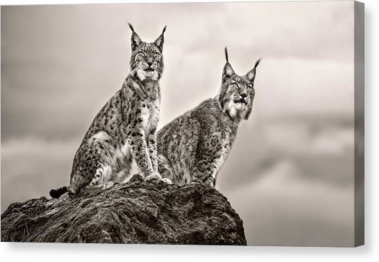 Scouting Canvas Print - Two Lynx On Rock by Xavier Ortega