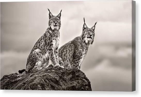 Lynx Canvas Print - Two Lynx On Rock by Xavier Ortega