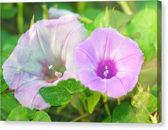 Two Morning Glories Canvas Print