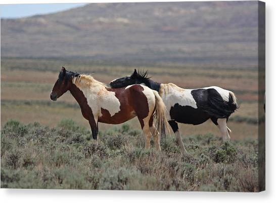 Two Mustangs In Wyoming Canvas Print