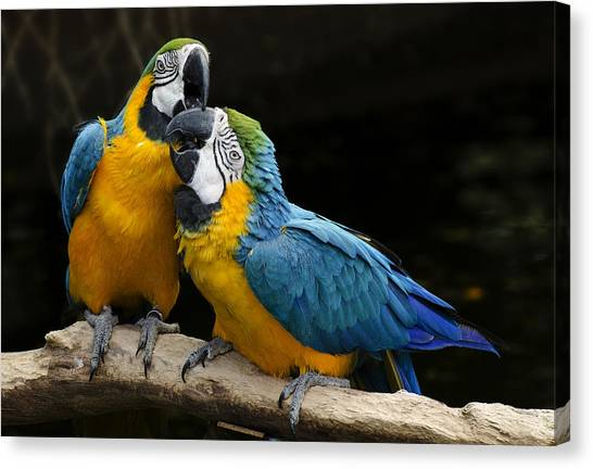 Two Parrots Squawking Canvas Print
