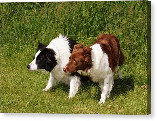 Border Collies Canvas Print - Two Purebred Border Collies, Crouched by Piperanne Worcester