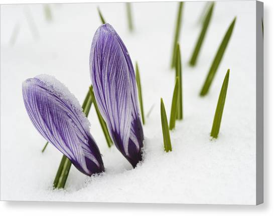 Two Purple Crocuses In Spring With Snow Canvas Print