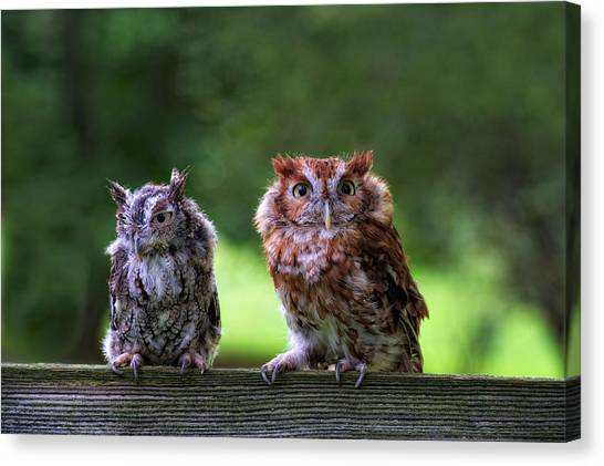 Two Screech Owls Canvas Print