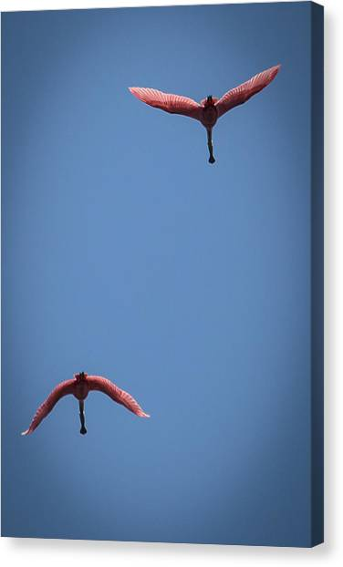Two Spoonbills Overflying The Swamp Canvas Print
