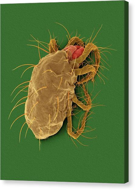 Pest Canvas Print - Two-spotted Spider Mite (tetranychus Spp.) by Dennis Kunkel Microscopy/science Photo Library