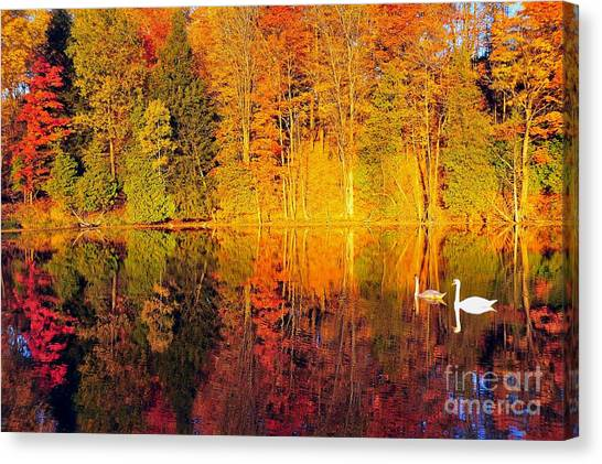 Two Swans A Swimming Canvas Print