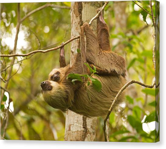 Two-toed Sloth Canvas Print by Brian Magnier
