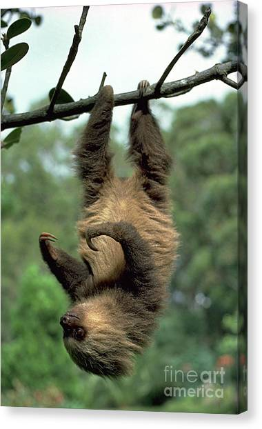 Costa Rican Canvas Print - Two-toed Sloth Juvenile by Gregory G. Dimijian, M.D.