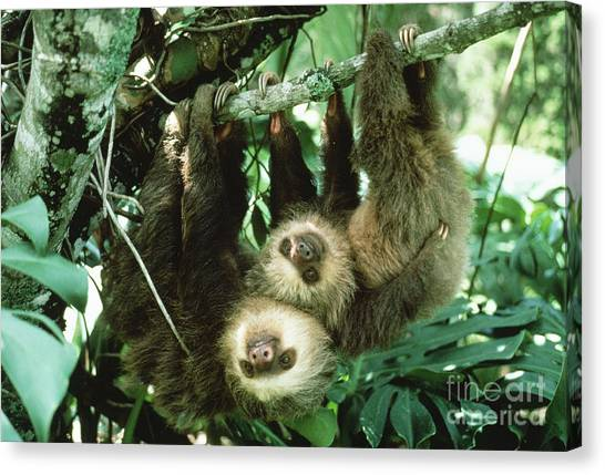 Monteverde Canvas Print - Two-toed Sloths by Gregory G. Dimijian