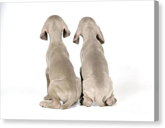 Weimaraners Canvas Print - Two Weimaraner Puppies by John Daniels
