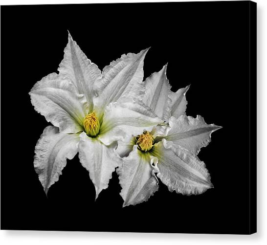 Two White Clematis Flowers On Black Canvas Print