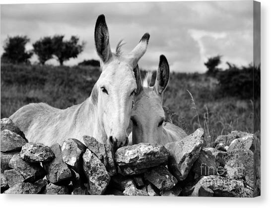 Two White Irish Donkeys Canvas Print