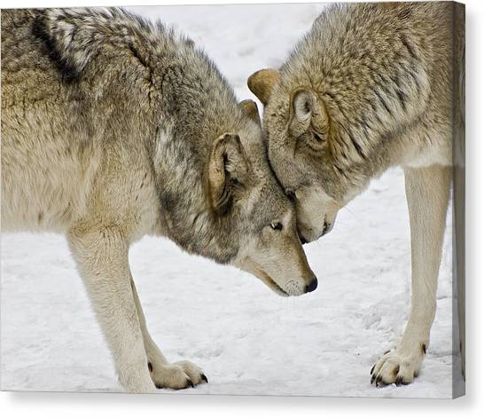 Two Wolves In  A Staredown Canvas Print