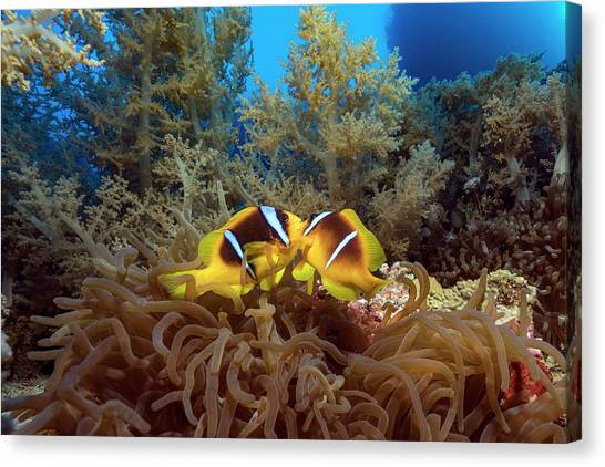 Twoband Anemonefish In An Anemone Canvas Print by Alexis Rosenfeld/science Photo Library
