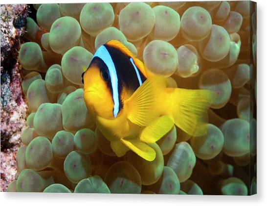Anemonefish Canvas Print - Twoband Anemonefish In An Anemone by Georgette Douwma