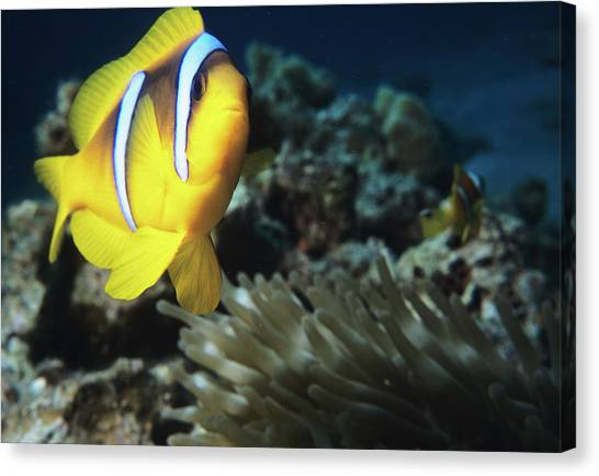 Anemonefish Canvas Print - Twoband Anemonefish by Lionel, Tim & Alistair/science Photo Library