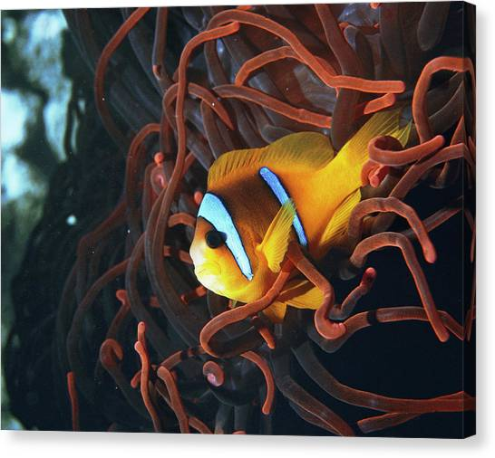 Anemonefish Canvas Print - Twoband Anemonefish by Peter Scoones/science Photo Library