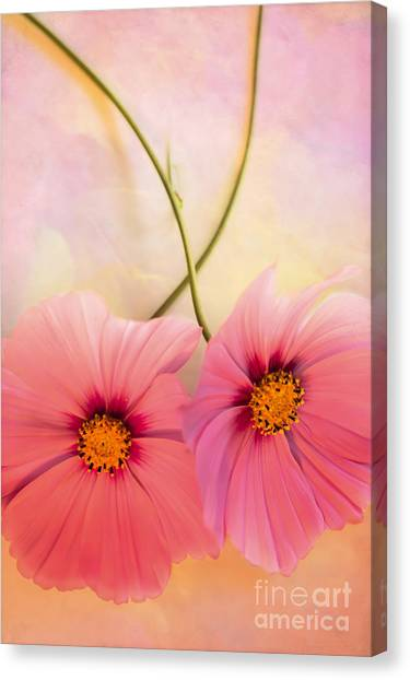 Cosmos Flower Canvas Print - Two's Company by Jan Bickerton