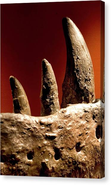 Tyrannosaurus Canvas Print - Tyrannosaurus Rex Teeth Fossil by Natural History Museum, London/science Photo Library