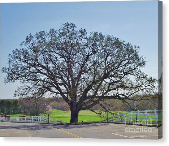 University Of Connecticut Canvas Print - Uconn Oak In Spring by Michelle Welles