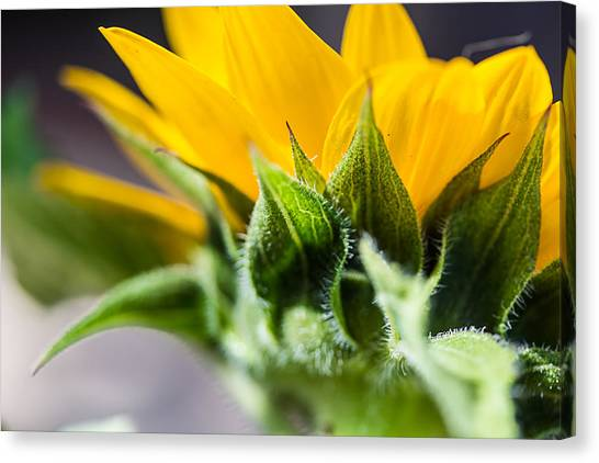 Under A Sunflower Canvas Print