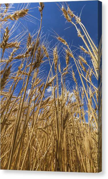 Under The Wheat Canvas Print