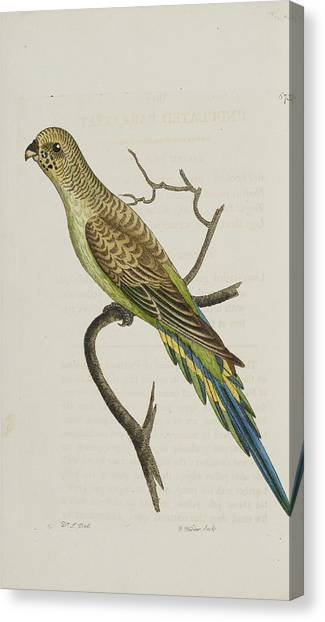 Parakeets Canvas Print - Undulated Parakeet by Natural History Museum, London/science Photo Library