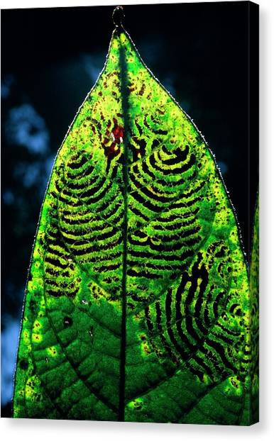 Unidentified Fungus On Rain Forest Leaf Canvas Print by Dr Morley Read/science Photo Library