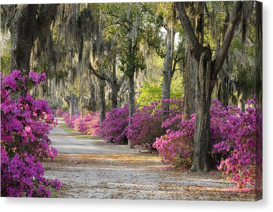 Unpaved Road With Azaleas And Oaks Canvas Print