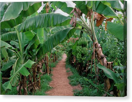 Banana Tree Canvas Print - Unripe Bananas On A Plantation by Sue Ford/science Photo Library