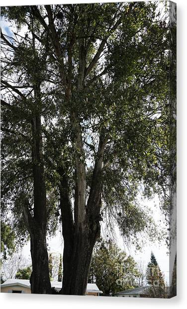 Up-view Of Oak Tree Canvas Print