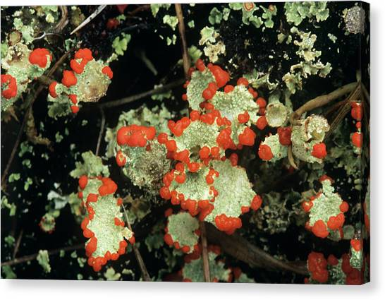 Upland Lichen Canvas Print by Bob Gibbons/science Photo Library