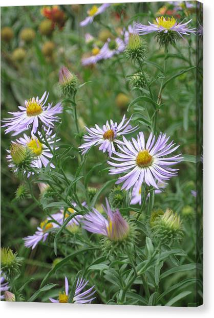 Uplifted Asters Canvas Print