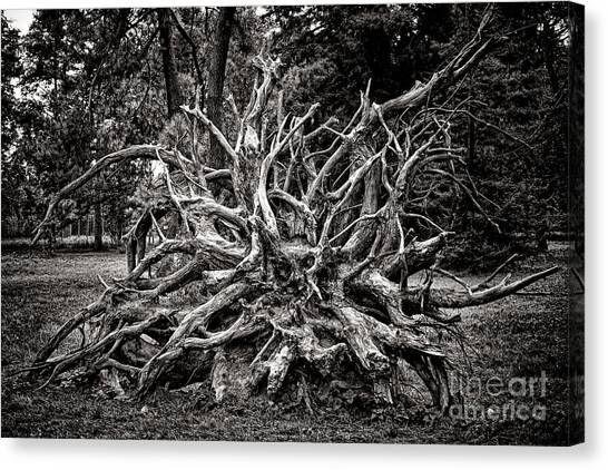 Fallen Tree Canvas Print - Uprooted by Olivier Le Queinec