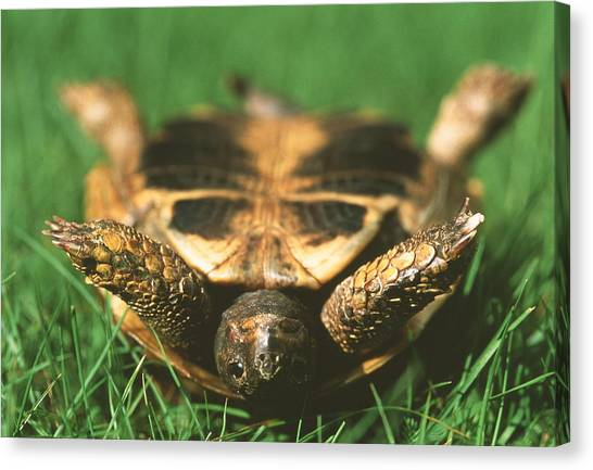 Tortoises Canvas Print - Upside Down Tortoise by Gustoimages/science Photo Library