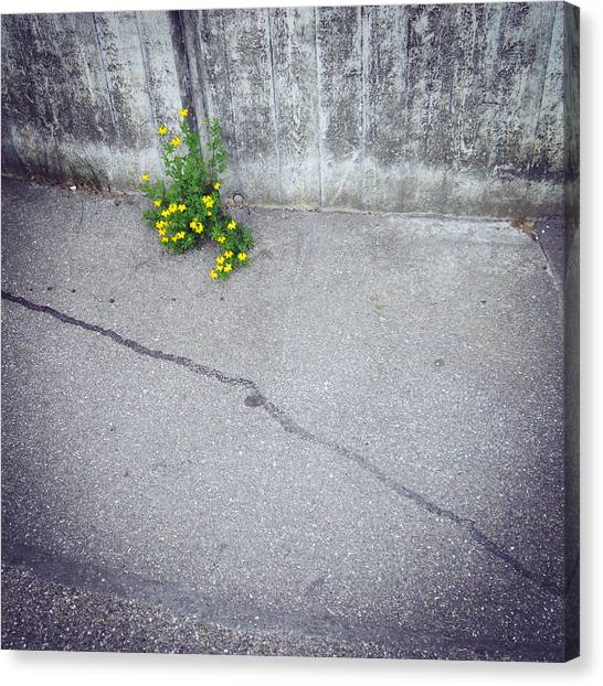 Yellow Canvas Print - Urban Flora - Yellow Flower And Grey Asphalt by Matthias Hauser